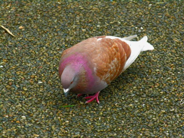 2637 Brown And White Pigeon Japan Photos Futta Net