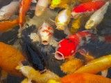Carp that crowds food