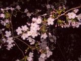 Cherry blossoms in the evening in Asukayama Park
