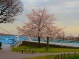 Cherry blossoms in park and blue bridge