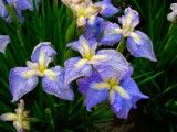 Iris of blue purple