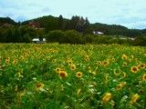 Scenery of sunflower field