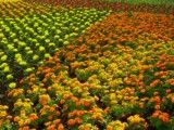 Orange and yellow and red flower field
