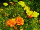 Orange and yellow flower in evening