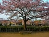 Cherry blossoms in park in residential area
