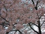 A lot of cherry blossoms of Hanafusa that fade away a little there