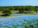 Scene of nemophila and forest