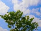 It the noisy is large tree and sky in the wind
