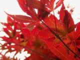 Improvement of autumn tint of bright red