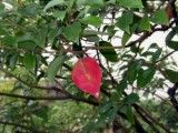 Leaf that is only one piece redder