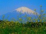 Rape blossoms and Mt Fuji