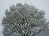 Large tree that adheres snow