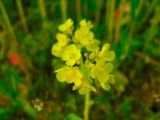 Close-up of rape blossoms