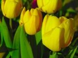 A little thickish and yellow tulip