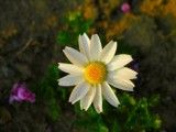 The petal is a white and amount is yellow flower