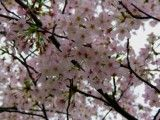 Cherry blossoms that look dark