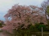 Big cherry in levee in Shinobazuno-ike