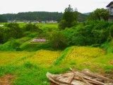 Scenery of rice field that is steps