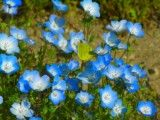 Protective coloration butterfly and nemophila