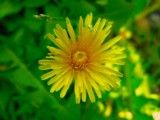 Is few dandelions petal?