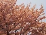Rich color cherry blossoms