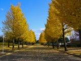 Spectacle of ginkgo roadside trees