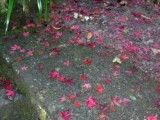 Bright red fallen leaf that sees purple selfishly a little