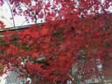 Autumn tint of bright red with Japanese style building forward