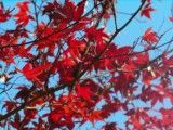 Autumn tint of Tsltsled branch and vermilion