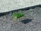 Big grasshopper on asphalt