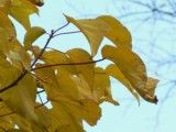 Improvement of yellow leaf