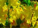 Azalea of palish yellow?