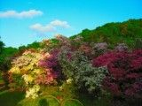 Azalea in evening and scenery of blue sky