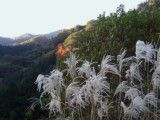 Surveying of Japanese pampas grass and mountain