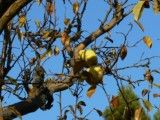 The yellow truth and branch and leaf like pear