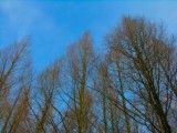 Long and slender withering tree and blue sky