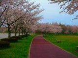 Road of Ikebe where cherry blossoms bloom