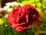 It is thin and a zoom Inn of the petal like a vermilion cloth