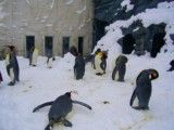 Crowd of king penguin
