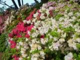 Improvement of colorful azalea