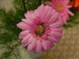 Flower of pink color that petal comes in succession to piles how many