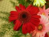 Red flower with thin petal