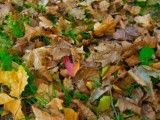Fallen leaf that accumulates on turf