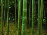 A lot of bamboos