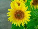 Still small sunflower