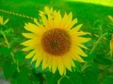 Sunflower of a little face down