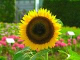 Sunflower with short petal