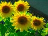 Sunflower like family's group photo