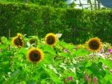 Four sunflowers in alpine meadow