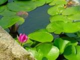 Flower such as lotuses and water lilies
